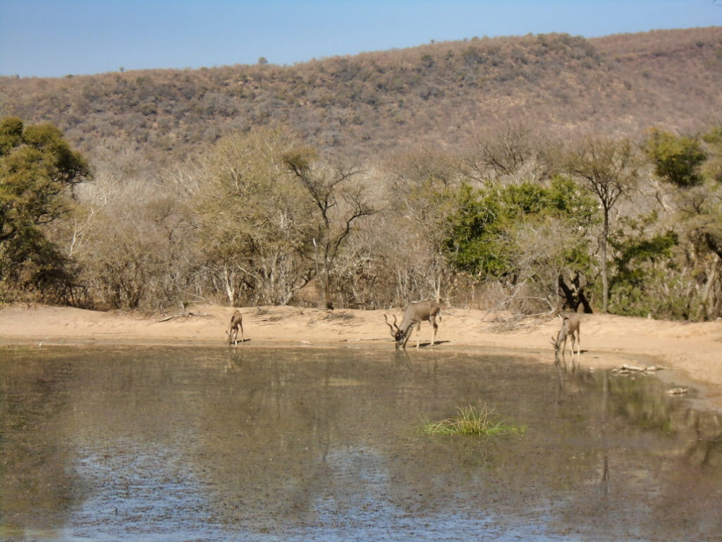 a troop of buck at the water