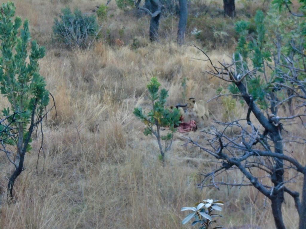 a few lions enjoying their catch